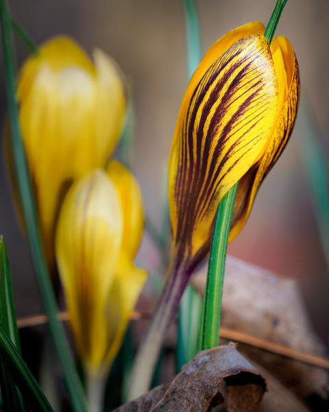 Crocus Emerging (from Early Febuary) #crocus #flowerpower #macro #omd #danielchambophotography.com