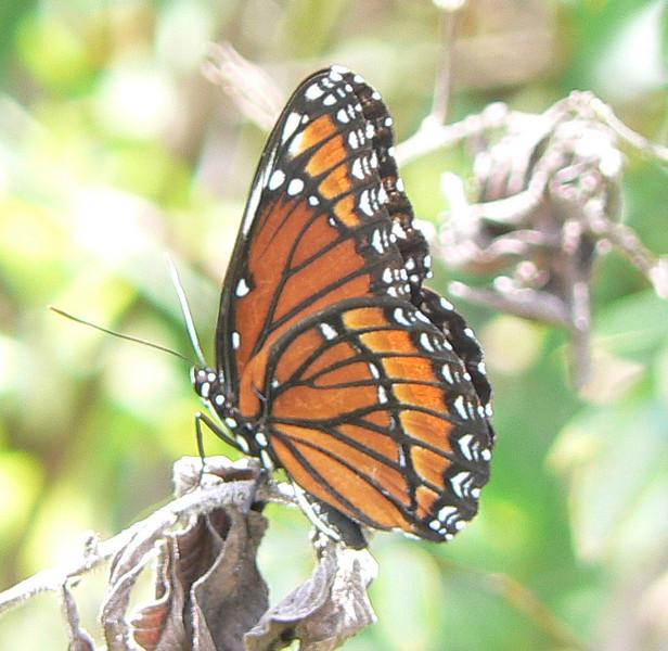 DotMViceroy591 May 24, 2007  1:01 p.m.  P1010591 Viceroy butterfly Fakahatchee Strand Preserve