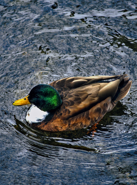 lititz - duck in cold February water(p).jpg