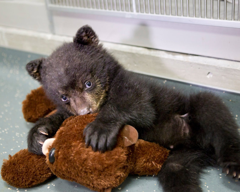 . A quarantined black bear cub plays with his stuffed otter toy at The Oregon Zoo in Portland. (AP Photo/Oregon Zoo, Carli Davidson)