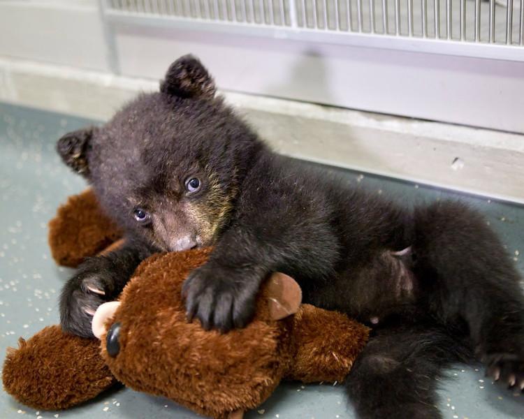 . A quarantined black bear cub plays with his stuffed otter toy at The Oregon Zoo in Portland. (AP Photo/Oregon Zoo, Carli Davidson)
