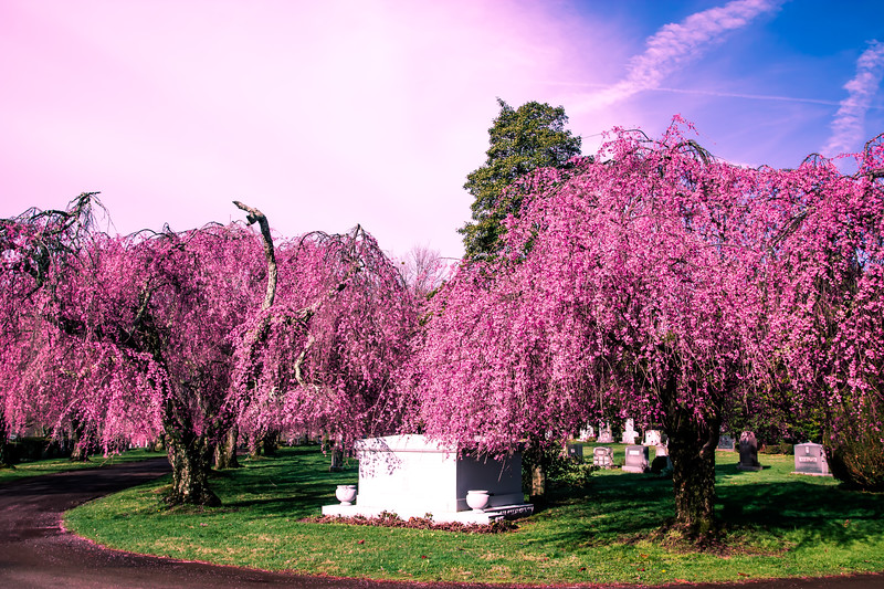 Cherry Blossoms, Lexington Cemetery