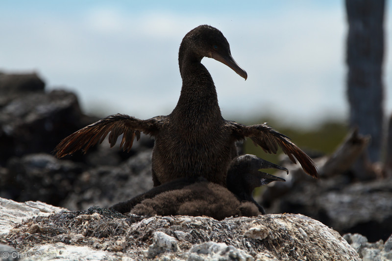 Flightless Cormorant at Punta Moreno, Isabela, Galapagos, Ecuador (11-23-2011) - 502.jpg