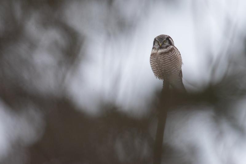 Hawk owl-9537.jpg
