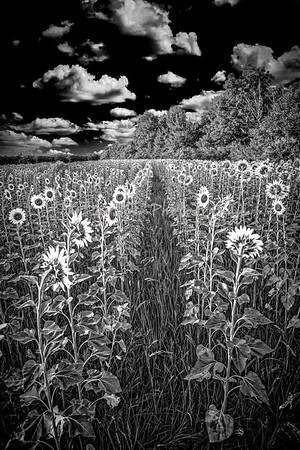 Mathiessen Sunflower Field, 7/24/2020