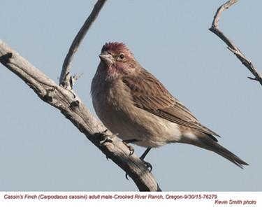 Cassin's Finch M76279.jpg