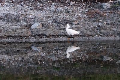 03_West Palm Beach - Snowy Egret