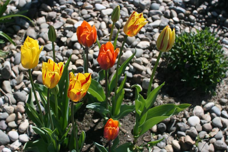 Tulips 2011 003.JPG