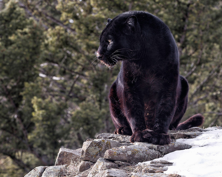 black leopard looking left.jpg