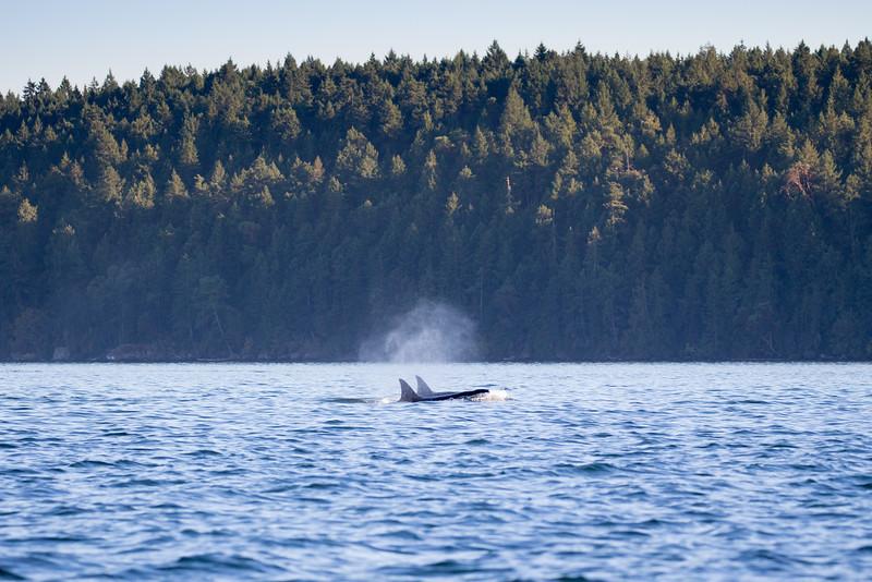 Orcas -  073115-688.jpg