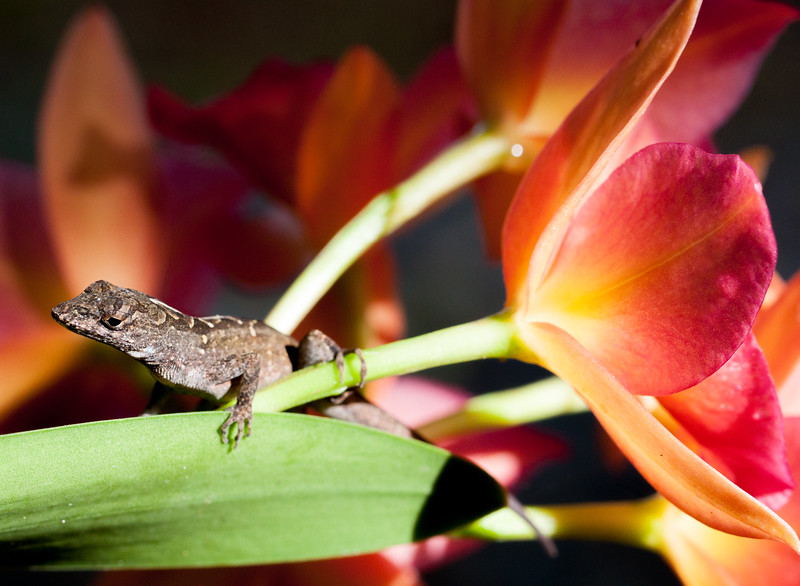 brown anole and orchid