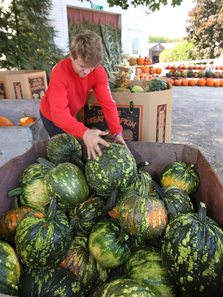 """Features at Hollis Hills Farm in Fitchburg. Jake Thibeault, 17, of Fitchburg, stacks """"warted"""" pumpkins. (Sentinel & Enterprise/Julia Malakie)"""