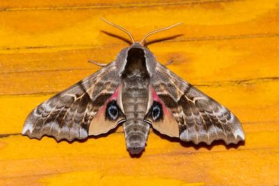 July 28, 2019 - Moths at Dunning Lake