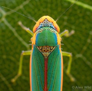 Cicadomorpha