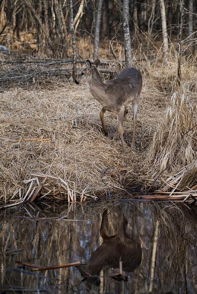 Deer reflection  April 2016 2.jpg