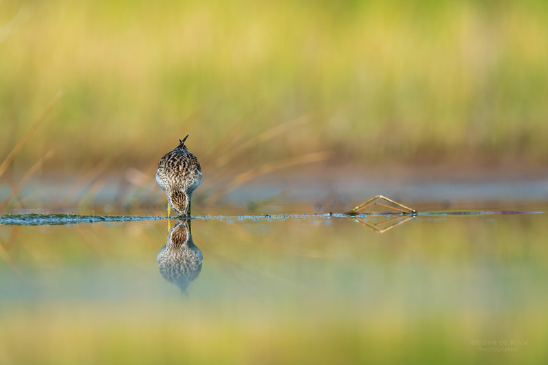 Sharp-tailed Sandpiper, Lake Wollumboola, NSW, Nov 2014-3.jpg