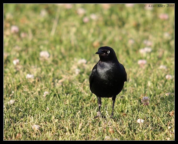 Brewer's Blackbird Male in breeding plumage, Robb Field, San Diego River, San Diego County, California, May 2010