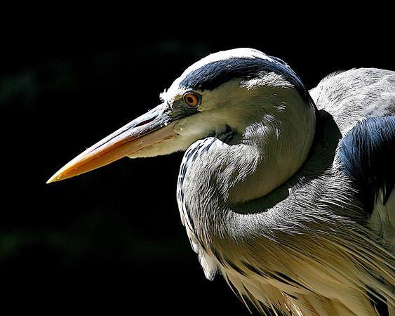 ARDEIDAE Herons