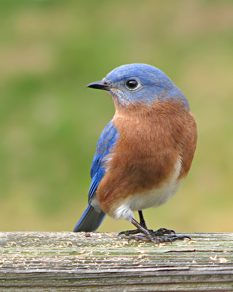 bluebird_0211.jpg