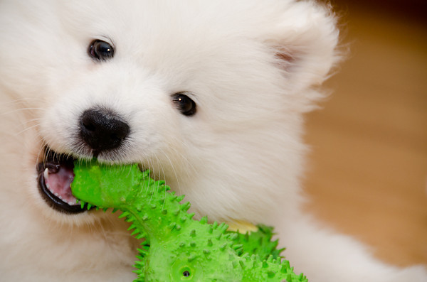 Ace the Samoyed Pup