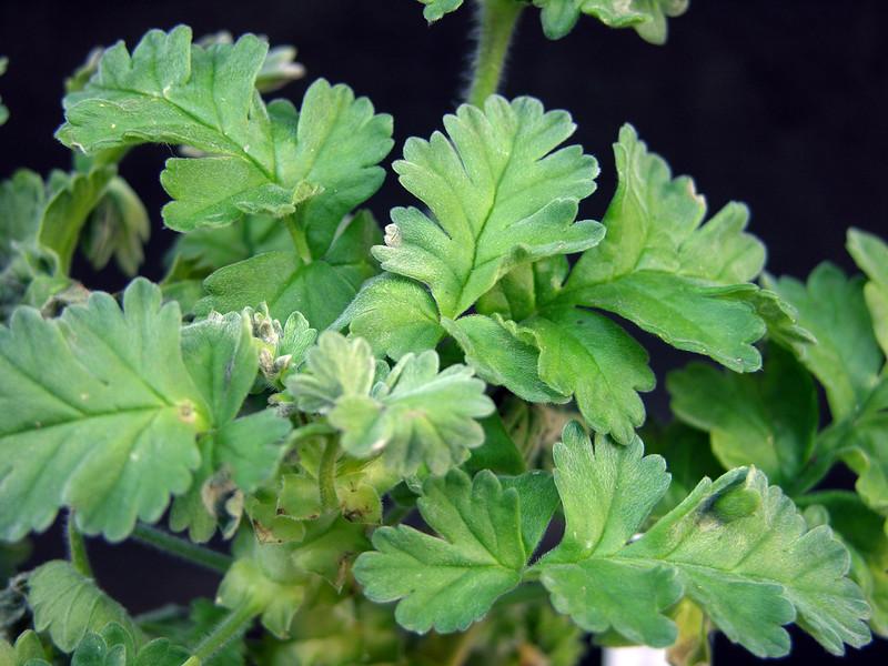 Pelargonium fulgidum leaves