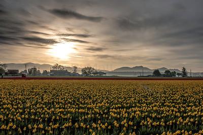 2016 Skagit Valley Tulips & Flower Garden  at Roozengaarde