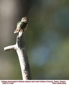 Calliope Hummingbird M71258.jpg