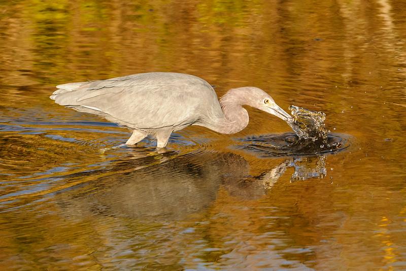 Heron - Little Blue - Bailey Tract - Sanibel Island, FL