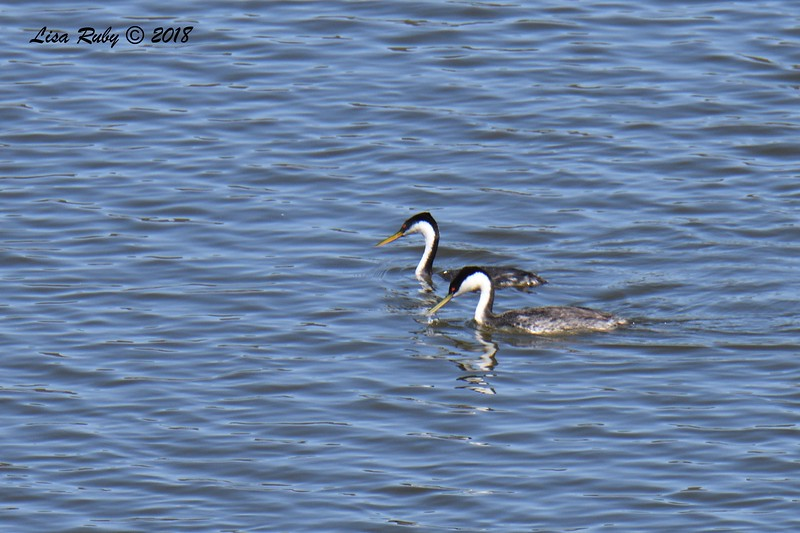 Western Grebes  - 6/1/2018 - Lake Hodge-Bernardo Bay Trail