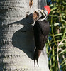 Male Lineated Woodpecker (Dryocopus lineatus)