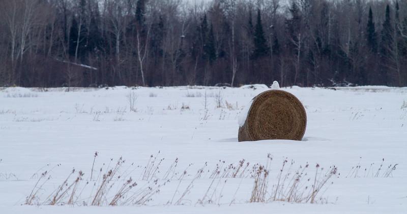 Snowy Owl mature male on haybale CR229-29 Dart Road Sax-Zim Bog MN  IMG_0013.jpg