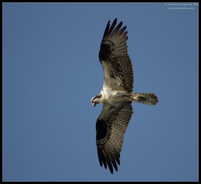 Osprey hunting, Robb Field, San Diego River, San Diego County, California, April 2011