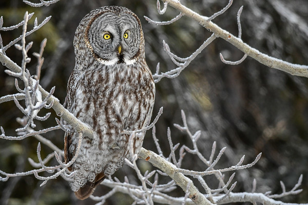 3-2-17 **Great Gray Owl - Frosty Forest