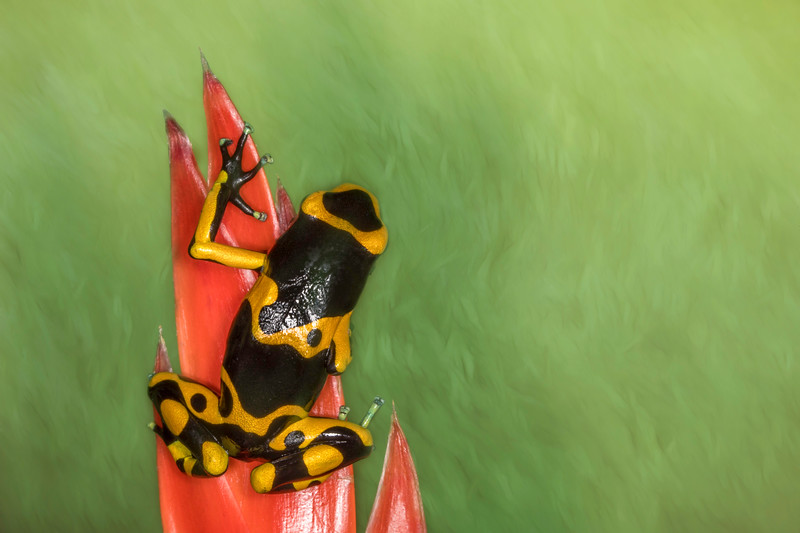 Summers poison dart frog ( Ranitomeya summersi) captive
