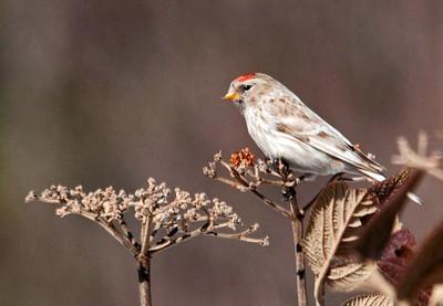 Bird Species R-T