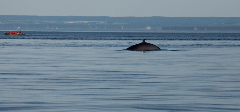 2011 quebec whale watching (9 of 80).jpg