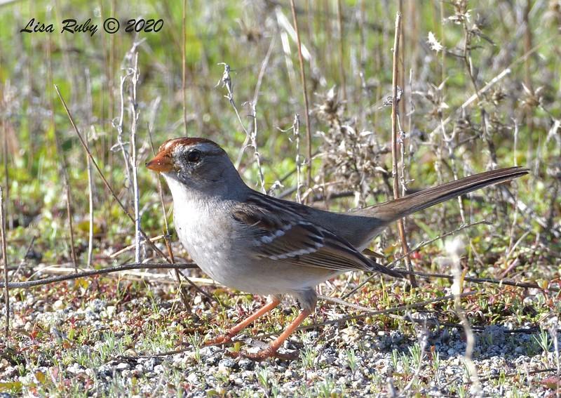 White-crowned Sparrow  - 1/3/2020 - Lake Hodges Bernardo Bay Trail