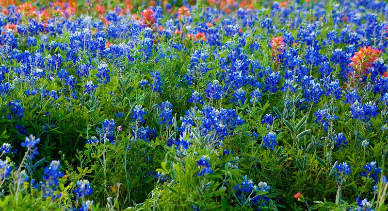 2016_4_9 Texas Wildflower Shoot-8819.jpg