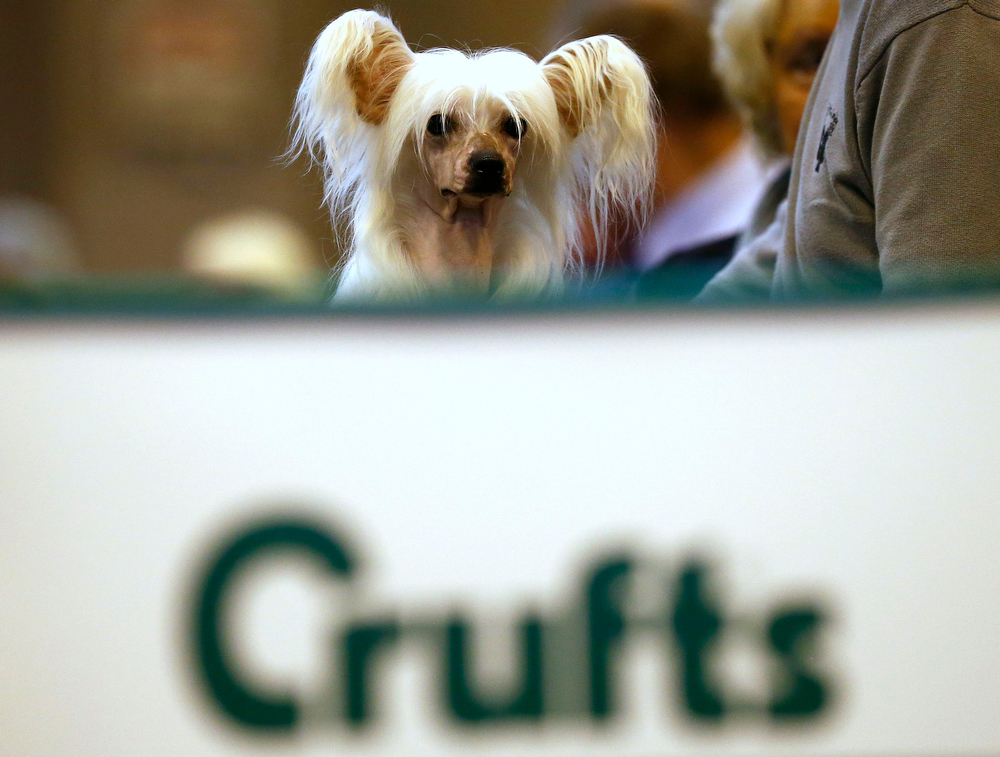Description of . A Chinese Crested dog is groomed during the second day of the Crufts Dog Show in Birmingham, central England March 8, 2013. REUTERS/Darren Staples