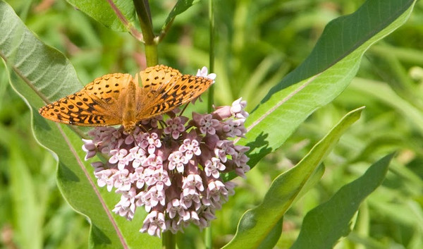 butterfly milkweed 1.jpg