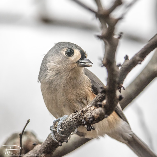 Tufted Titmouse NPP - 20191117-17-16-03.jpg