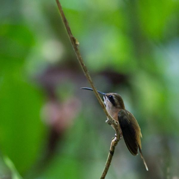 Bronzy Hermit - Recored - Osa, Costa Rica