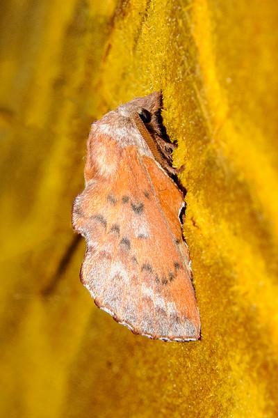 Lappet Moth - American - (Phyllodesma americana) - Dunning Lake - Itasca County, MN