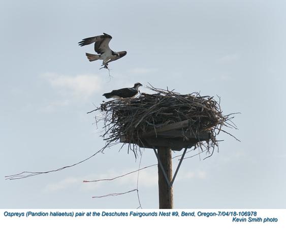 Ospreys P106978.jpg