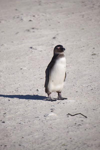 African Penguin, Boulder Beach, South Africa