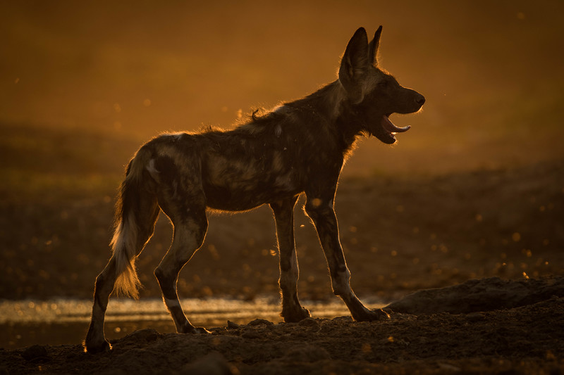 Yawning African Wild Dog silhouetted at sunset, Mana Pools National Park
