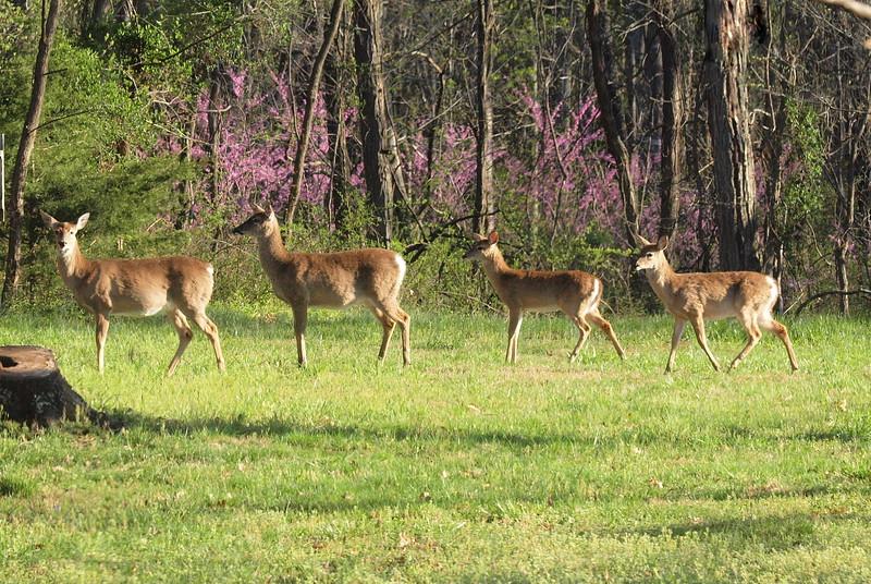 Deer Apco-064.JPG