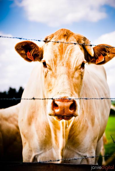Belgian Cow