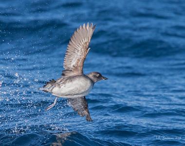 Pelagic Birding 2015