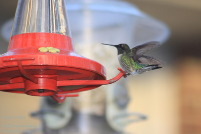 Hummingbirds 2011